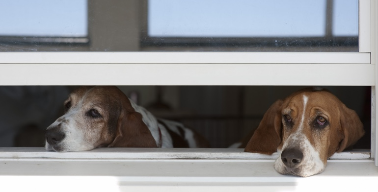 Dogs look out open window with no window covering in Minneapolis.